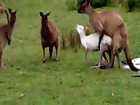 Rare zoo fetish video of a well-endowed male kangaroo trying to screw his mate
